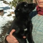 Bürschi, ein Rüde mit etwas längerem Fell als Mama, ein sehr zutraulicher Bursche, der jetzt schon immer gerne bei Fuss läuft.
