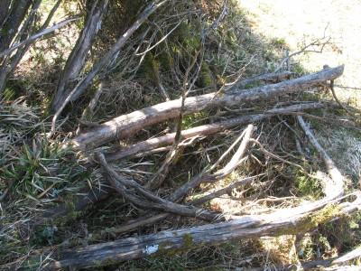 ........rohlinge ernten, nach dem winter niedergedrückte Wacholder......